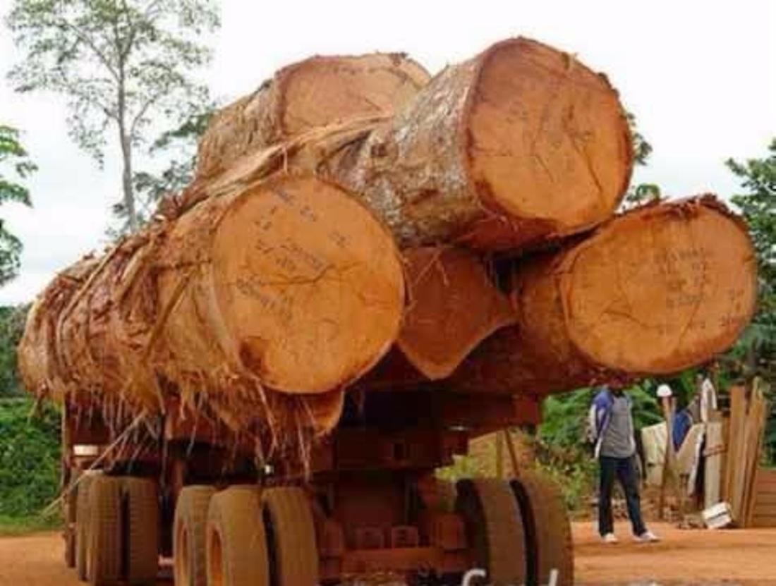 Logs for Sawing Doussie (Afzelia, Lingue, Apa, Chanfuta)